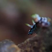 Rear view of Chromodoris geometrica nudibranch in Ambon, Indonesia