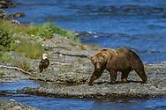 Alaskan brown bear walking along McNeil River passes a bald eagle, McNeil River State Game Sanctuary, Alaska, © David A. Ponton