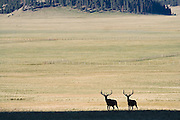 A pair of mature bull elk walk together in the Valles Caldera National Preserve, New Mexico on June 17, 2006. Eradicated by hunting by 1910, elk were reintroduced in small numbers from Yellowstone (1947) and Jackson Hole (1964) to the Jemez Mountains by the New Mexico Department of Game and Fish. The preserve is now an important breeding, grazing and calving ground for around 3,000 elk. Hunts are held each year, awarded by a competitive lottery.