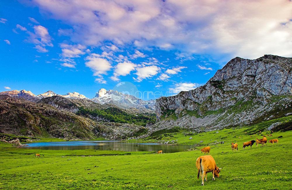 Vaca pastando en los lagos de Covadonga. Principado de Asturias. España. Europa ©Javier Abad Country Sessions / PILAR REVILLA