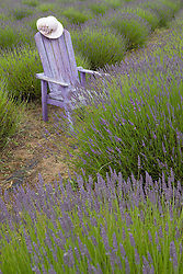 North America, United States, Washington, Sequim, old purple adirondack chair and straw hat in field at Lavender Festival, held annually each July