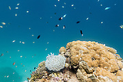 Blue green (chromis viridis) and whitetail stoutbody (chromis chysura) puller damselfish schooling around coral on Agincourt Reef, Great Barrier Reef, Queensland, Australia <br />