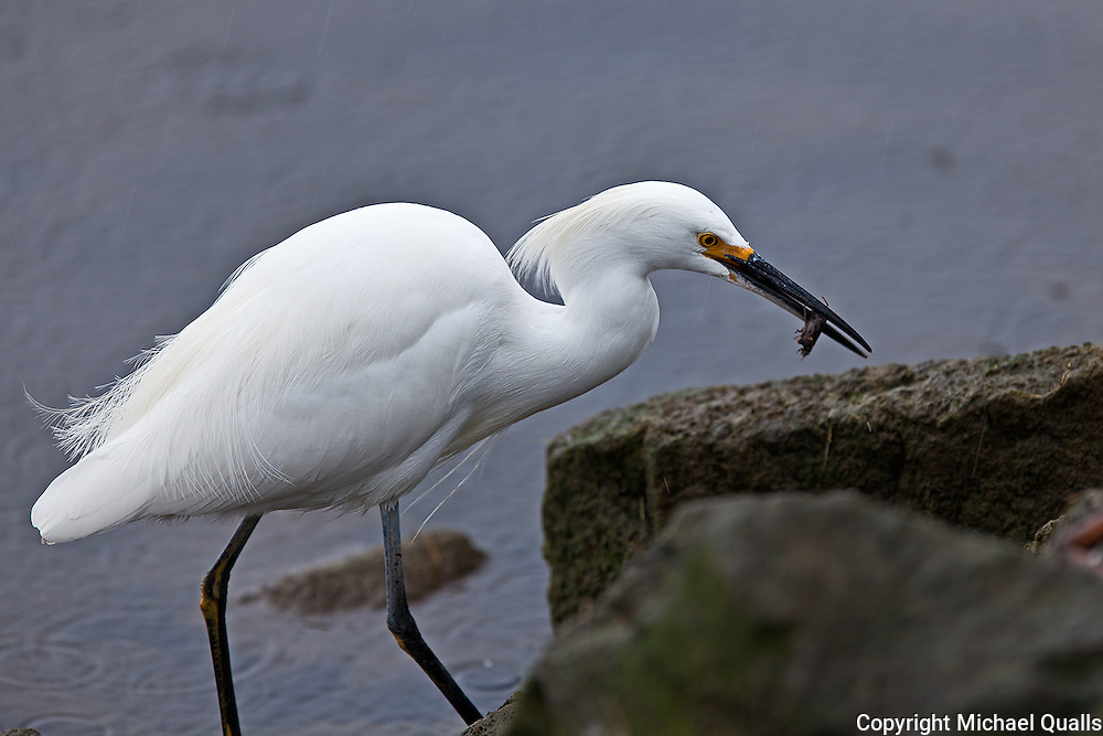 Snowy Egret and Catch