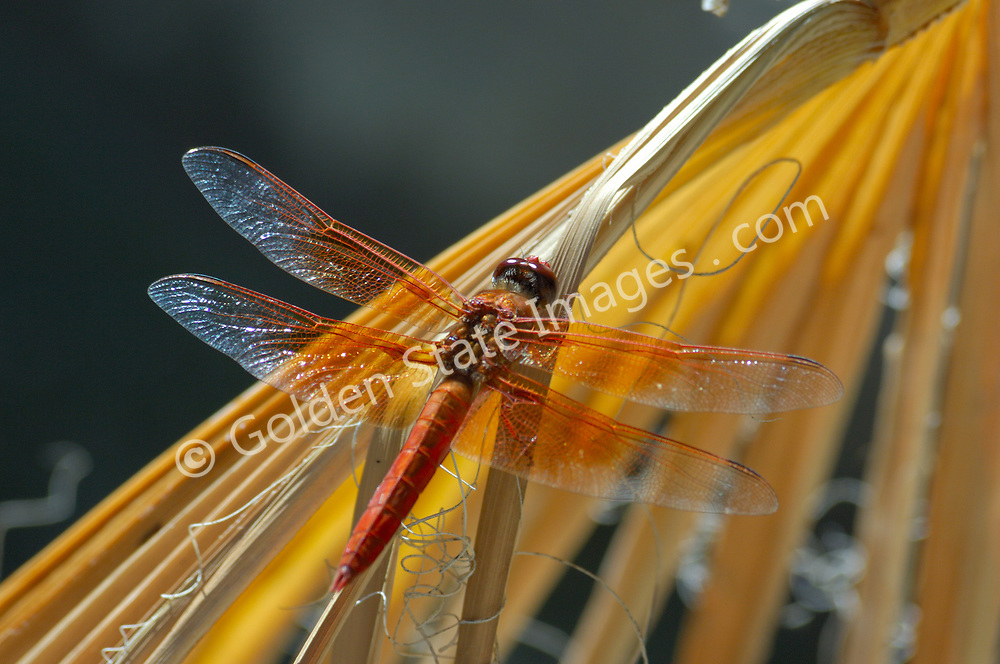 The Flame Skimmer Dragonfly is most often found around hot springs.    <br />    <br /> Dragonflies begin life in an aquatic larval stage. After a year or more they transform to the winged adult which typically only lives for a few months.    <br />    <br /> Range: Common to much of the United States    <br />    <br /> Species: Libellula saturata