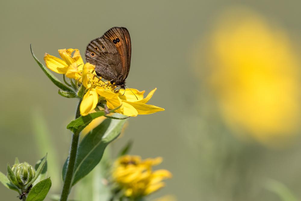 Butterfly on a yellow flower, Wallowa Valley, Oregon.