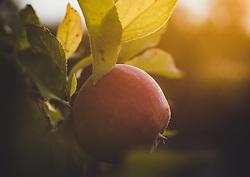 THEMENBILD - ein roter Apfel (Elstar) an einem Ast mit Sonneneinstrahlung, aufgenommen am 05. August 2018, Kaprun, Österreich // a red apple (Elstar) on a branch with sunlight on 2018/08/05, Kaprun, Austria. EXPA Pictures © 2018, PhotoCredit: EXPA/ Stefanie Oberhauser