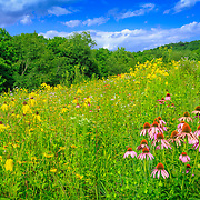 Gently rolling landscape of central Ohio tall grass prairie inl bloom with native wildflowers in late July.
