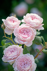 Rosa 'Queen of Sweden' syn. 'Austiger'