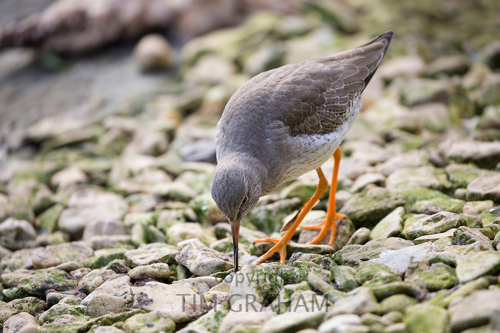 Common Redshank - Tringa totanus - a Eurasian wader feeding at Slimbridge Wildfowl and Wetlands Centre, England, UK