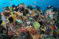 A fully healthy Coral Reef, densely packed with vibrant corals, crinoids, and fishes. <br /> <br /> Shot in Indonesia