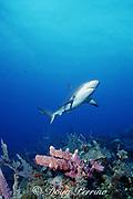 Caribbean reef shark, Carcharhinus perezi, swims over purple tube sponges, New Providence, Tongue of the Ocean, near Nassau, Bahamas ( Western Atlantic Ocean )