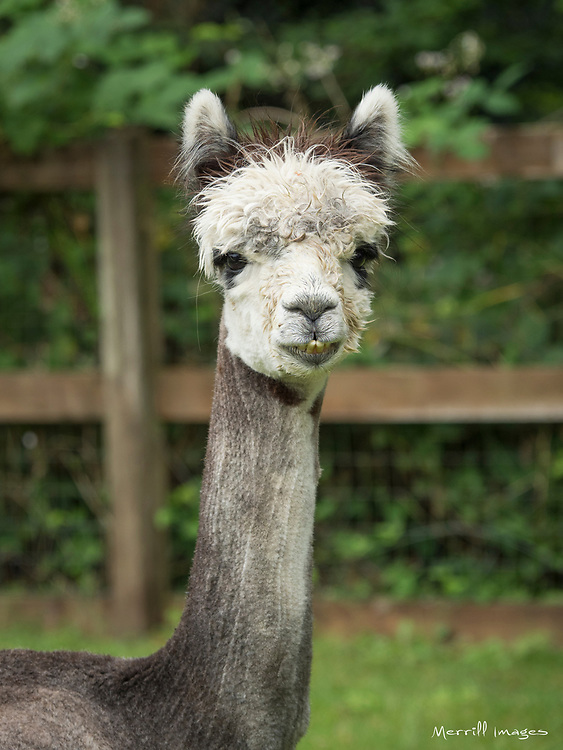 United States, Washington, Carnation, alpaca at farm