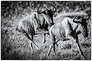 06-11-2017 Foto's genomen tijdens een persreis naar Buffalo City, een gemeente binnen de Zuid-Afrikaanse provincie Oost-Kaap. Inkwenkwezie Private Game Reserve - Gnoe, Wildebees