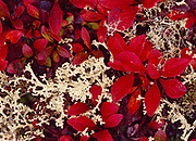 Autumn leaves of alpine bearberry, Arctostaphylos sp., with Cladonia sp. lichens, alpine ridge along Top of the World Highway above Clifton, Yukon Territory, Canada.