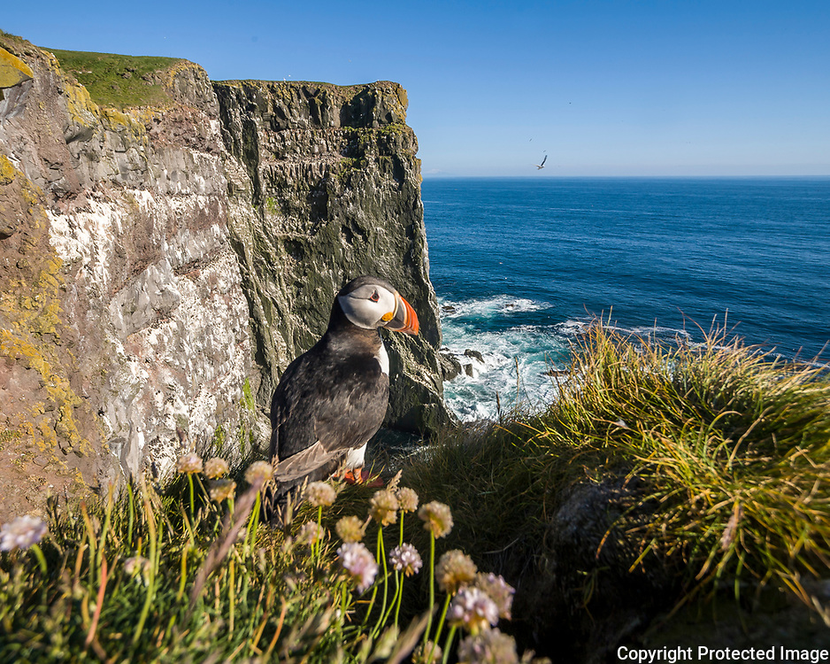 Puffins, Fratercula arctica. Iceland's most common nesting bird, although food shortages have reduced their number.