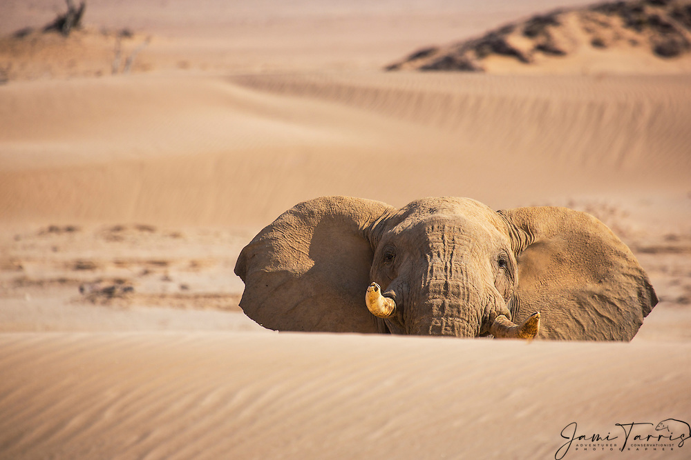 An aggressive desert-dwelling elephant bull (Loxodonta africana) trying to climb a steep sand dune in preparation of a charge, Skeleton Coast, Namibia,Africa