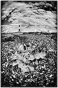 Sea kale on the beach at Dungeness