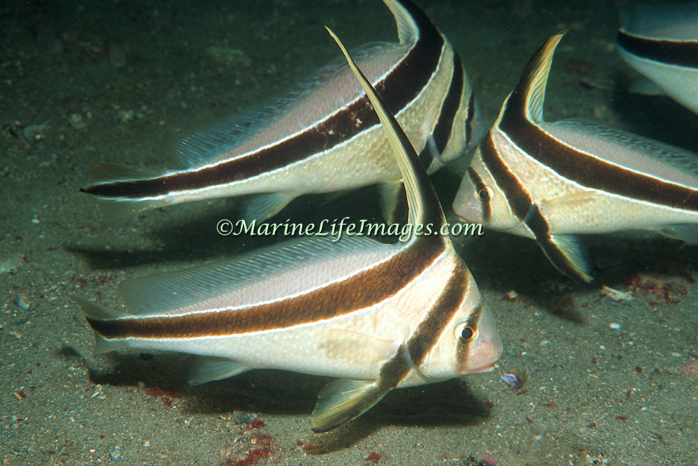 Jackknife Fish inhabit secluded areas of reefs, often under ledges, in recesses or near the entrance to caves in Tropicsal West Atlantic; picture taken Panama City, Panhandle, FL.