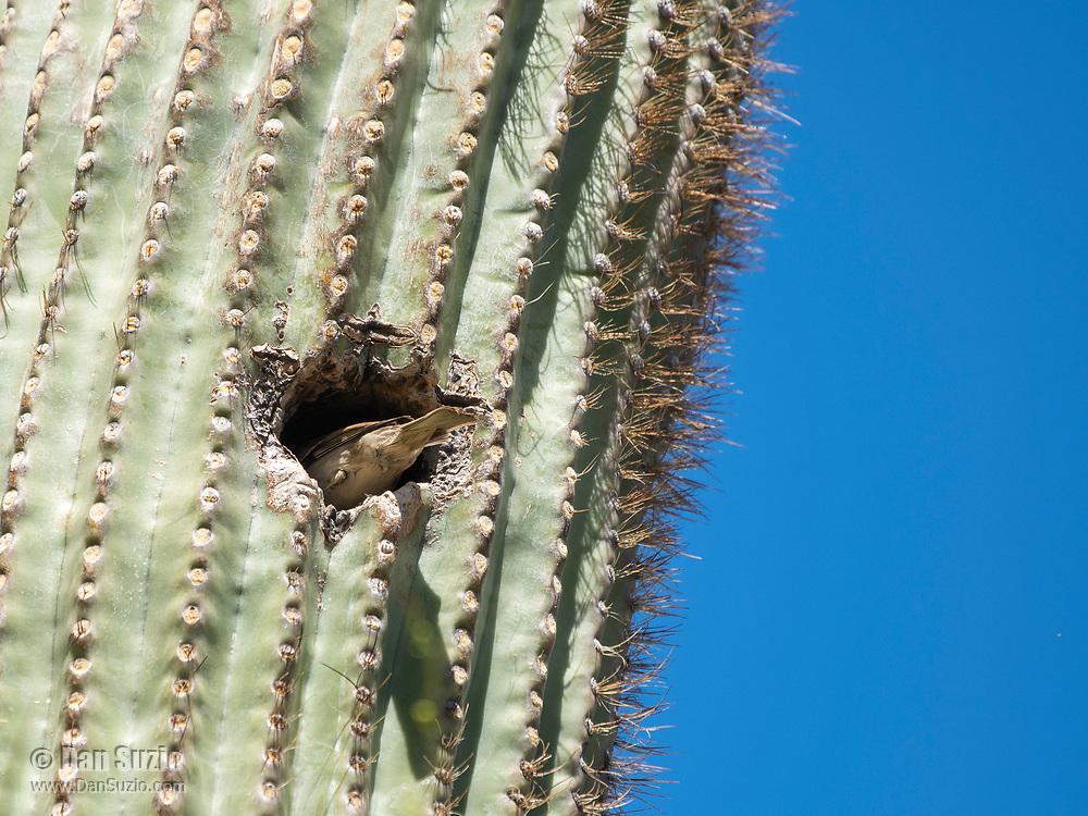 House Sparrow, Passer domesticus, nests in a Saguaro cactus, Carnegiea gigantea, in the Desert Botanical Garden, Phoenix, Arizona