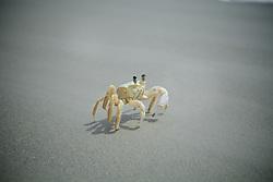Siri na beira da Praia do Farol, na Ilha do Mel FOTO: Jefferson Bernardes/Preview.com