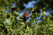 Purple Grenadier (Uraeginthus ianthinogaster) perched on a branch in a bush. Photographed at Serengeti National Park, Tanzania