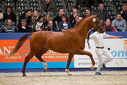 587, Independent Little Me<br /> Derde bezichtiging Gelderse Hengsten en Kampioenskeuring<br /> KWPN Hengstenkeuring - 's Hertogenbosch 2016<br /> © Hippo Foto - Dirk Caremans<br /> 06/02/16