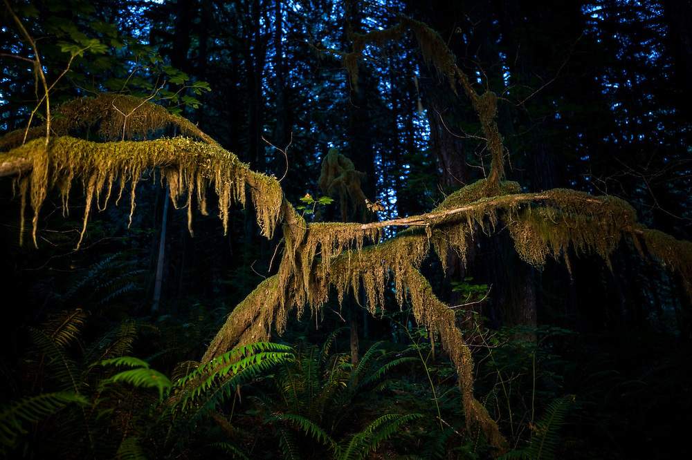 Branches dripping with moss in the Bacon Creek drainage, Mount Baker-Snoqualmie National Forest, Washington.