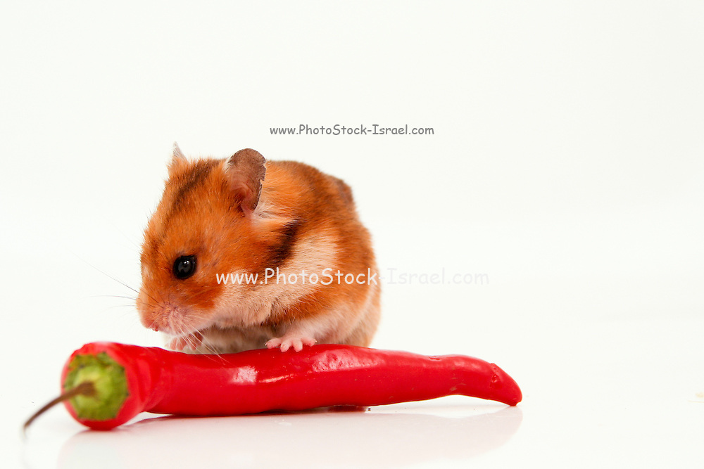 Cutout of a curious hamster and long hot red pepper on white background