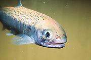 Alaska. Young silver salmon (Oncorhynchus kisutch)