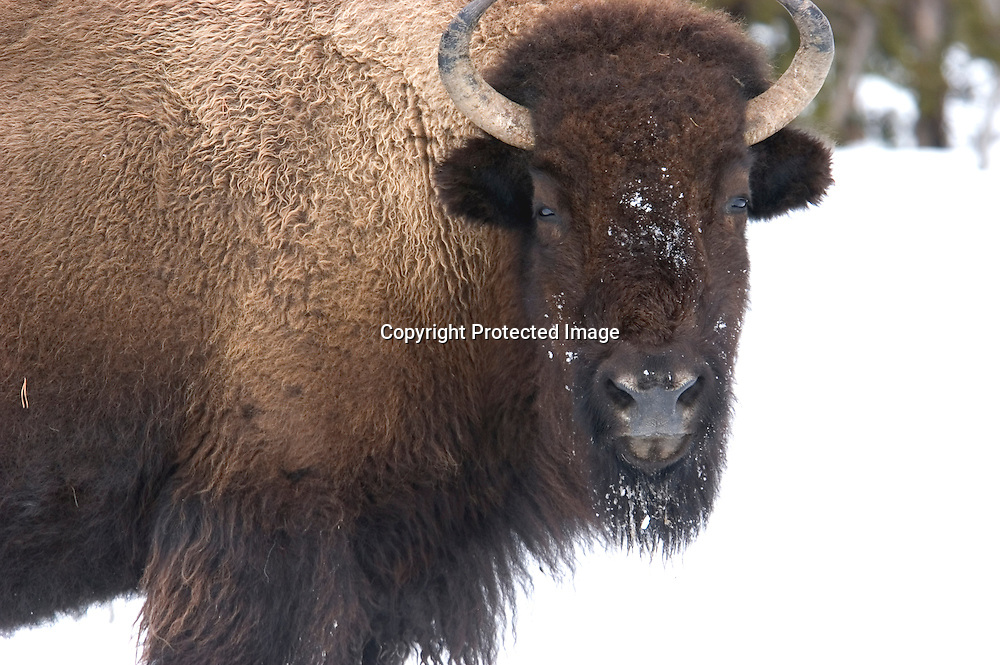 Wild bison in Yellowstone National Park migrating toward the park border. Bison are captured as they attempt to leave the park. Those that test positive for brucellosis are sent to laughter.
