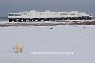 01874-107.06 Polar Bear (Ursus maritimus) near Tundra Buggy Lodge, Churchill, MB