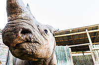 Apart from dehorning, other conservation measures include the translocation of rhino to new areas where strong protection measures are in place. Here a black rhino awaits transportation from South Africa to Chad where a new founder population of rhino is to be set up under the protection of African Parks.