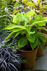 Pots of Variegated Knotweed, Geranium phaeum 'Samobor' and Ophiopogon planiscapus 'Nigrescens' at Glebe Cottage