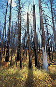 Burnt Tree Trunks, after forest fire, Yellowstone National park, Wyoming, USA