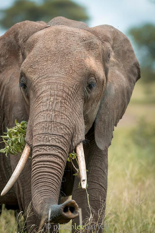 Headshot of an African elephant (Loxodonta africana) feeding on grass in Tarangire National Park, Tanzania