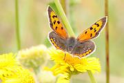 Small copper butterfly on fleabane flower.