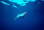 UNDERWATER MARINE LIFE EAST PACIFIC, off Santa Barbara, California SHARKS: Blue shark Prionace glauca