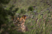 A young lion, Panthera leo, hiding in a field of purple grass.