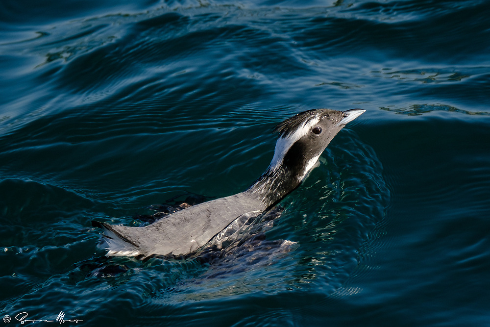 The Japanese name for murrelet is umisuzume, which translates literally to sea sparrow, hence the scientific name.
