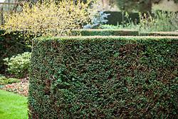 Hedge of Taxus baccata - English yew
