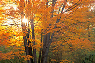 Sunlight through autumn orange leaves and branches on maple tree in fall, White Mountains, New Hampshire