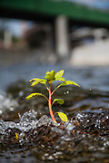 Small plant growing out of water near the Confluence in the Los Angeles River, Los Angeles, California, USA