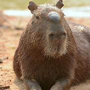 Capybara (Hydrochaeris hydrochaeris) Largest rodent in the world. Close up of male. Pantanal. Brazil.
