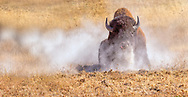 This bull bison was rolling in the dirt, trying to attract the ladies.