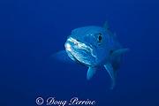 great barracuda, <br /> Sphyraena barracuda,<br /> Grand Cayman, Cayman Islands <br /> British West Indies ( Caribbean Sea )