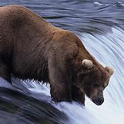Alaskan brown bear, (Ursus middendorffi) fishing for salmon at Brooks Falls on the Brooks River, Alaska.