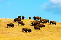 American bison (American buffalo), Custer State Park, Black Hills, South Dakota USA