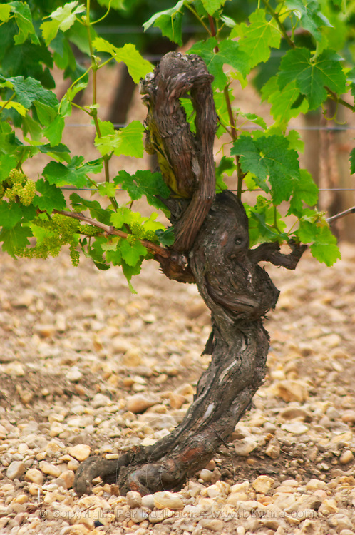 A detail of the soil at Chateau Lafleur  (la fleur), more pebbles and less clay compared to Petrus or Lafleur Petrus across the road, a very old vine with strangely shaped gnarled branches, Merlot  Pomerol  Bordeaux Gironde Aquitaine France