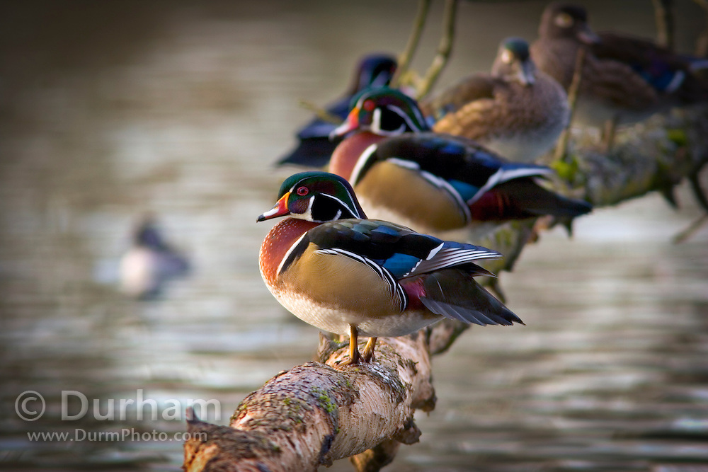 Wood ducks (Aix sponsa) grouped on a limb over water in Crystal Springs, Oregon. Wood ducks are one of the few ducks that roost, and nest, in trees.