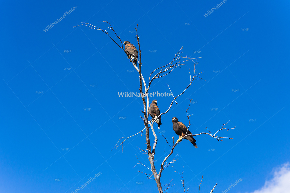 Thee adult Harris Hawks (Parabuteo unicinctus)bperched on a tree branch with blue sky in the Sonoran Desert of Tucson (Arizona)